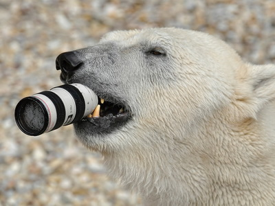 你看!北極熊嘴巴裡咬的是 Canon 相機鏡頭,好貴的悲劇啊!