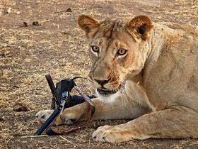 當獅子遇上 Canon 5D Mark II,究竟下場會如何呢?