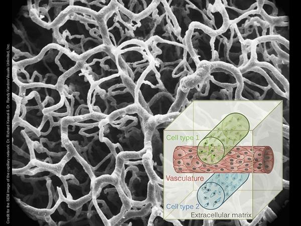 3D 列印能製造具有生命活力的血管,還能用於藥物試驗