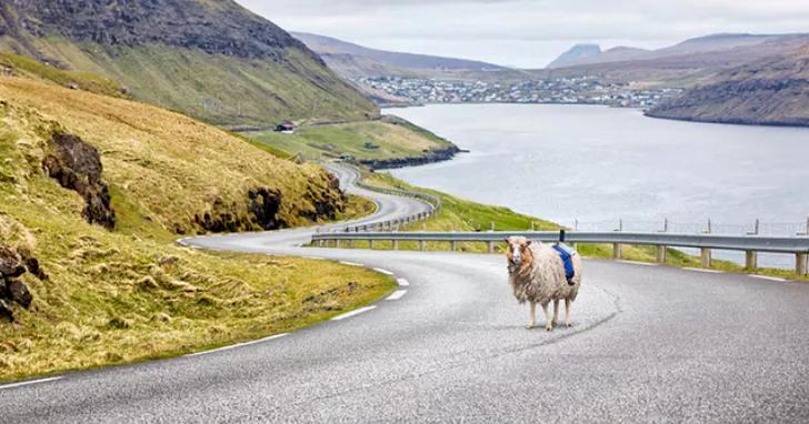 在這個島上,負責拍攝360度街景的是這些羊