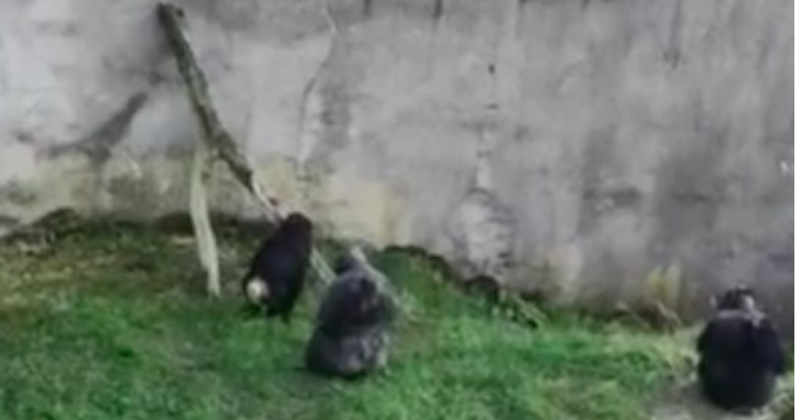 已知用火!動物園遊客拍下黑猩猩學會架橋、排隊等著「翻牆」