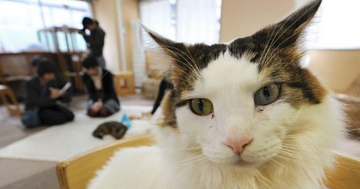 日本研究證明,貓咪確實會對自己的名字產生反應