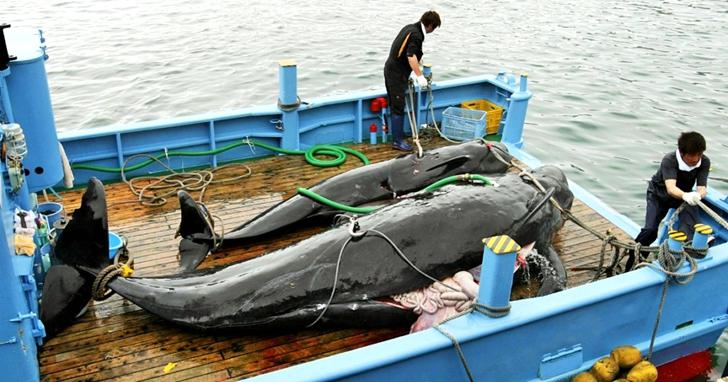 日本退出國際捕鯨委員會,時隔32年重啟商業捕鯨