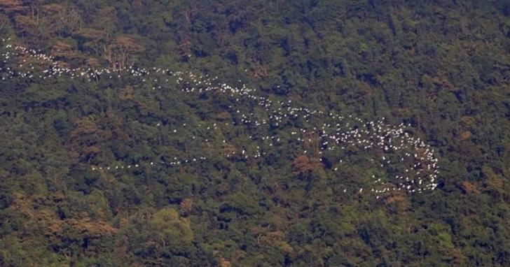 他等了兩年用空拍機拍下「世界級奇景」黃頭鷺南遷影片。野鳥學會:觸及野生動物保育法