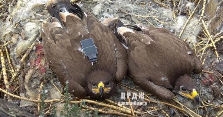 科學家用簡訊來接收老鷹飛行的位置資料,結果因為老鷹亂「漫遊」收到天價帳單