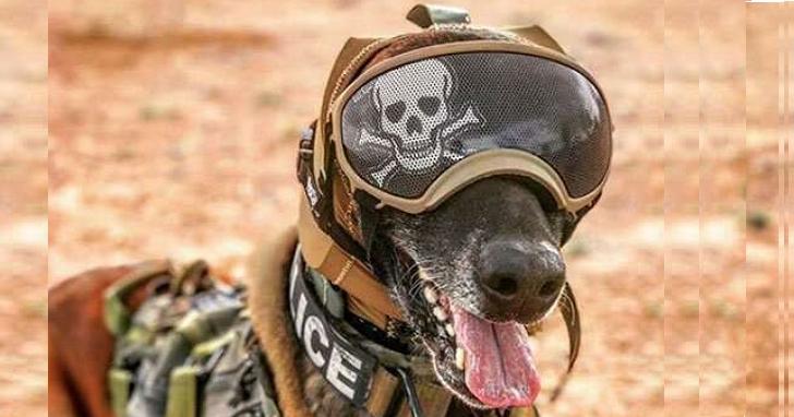 為了保護軍犬值勤時免受聽力的損害,美軍開發出了CAPS狗狗聽力保護頭套