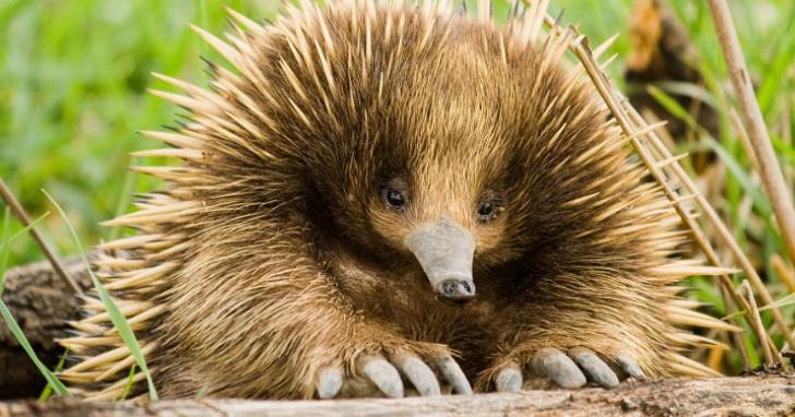 澳洲針鼴遭遇交通事故,卻因為太胖撿回一條命