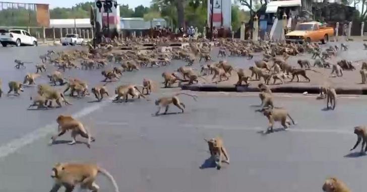 「你給香蕉,就只能請到猴子」泰國上百支猴子為一根香蕉在街道上群毆