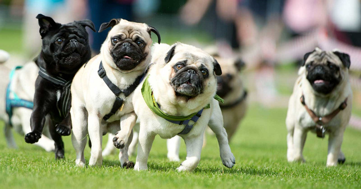 美國出現第一隻武漢肺炎陽性寵物狗,症狀有咳嗽、打噴嚏與食慾下降