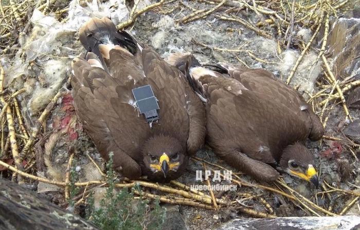 科�家用行動數據來接收老鷹遷徙的位置資料,結果收到天價漫遊費帳單