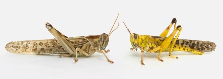 左為獨居沙漠蝗,右為群居後的沙漠蝗。圖片來源:劍橋大�